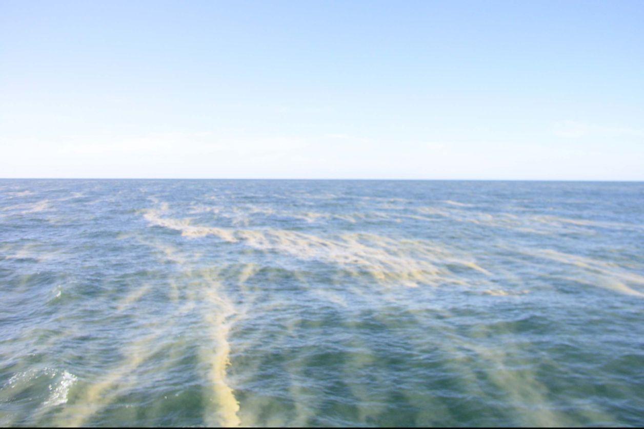 Algblomning östersjön 2019