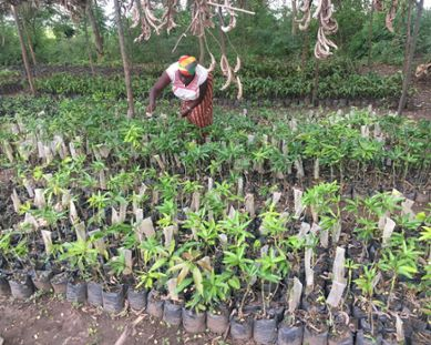 Woman tending to fruit tree seedlings in Bugesera