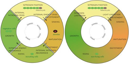 The complex cyanobacteria life cycle model and the newly developed simplified version.