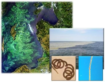 Cyanobacteria in the Baltic Sea