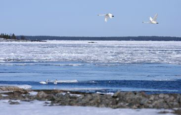 Swans over the Gulf of Bothnia during spring.